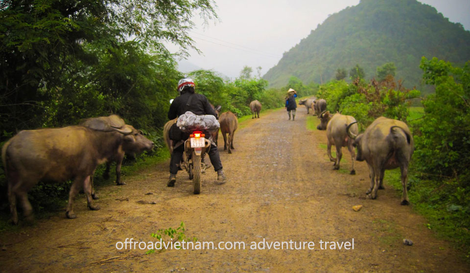 Managing traffic off-road, here come the water buffalo. Vietnam Motorbike Hanoi Rental - Spend Or Save On Your Vietnam Motorbike Tours?